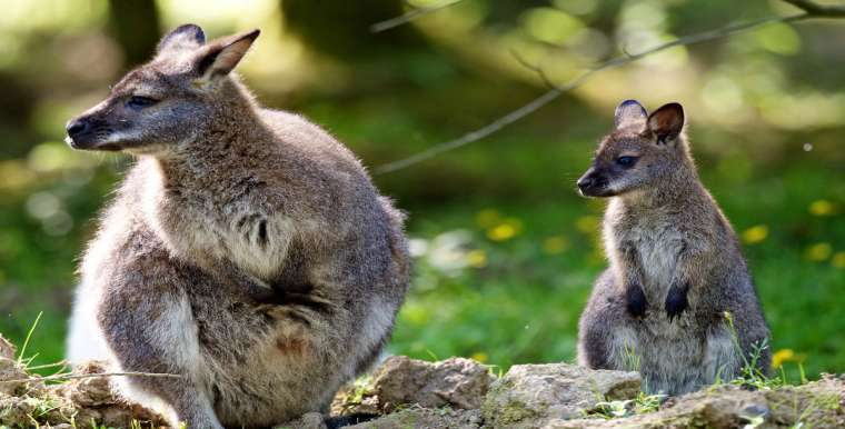 Bennett's Wallaby's