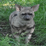 Tayto Park Animal - Aardwolf
