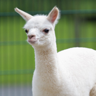 Tayto Park Animal - Alpaca