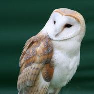 Tayto Park Animal - Barn Owl