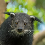 Tayto Park Animal - Binturong