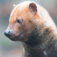 Tayto Park Animal - Bush Dogs