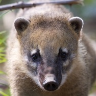Tayto Park Zoo - Ring-tailed Coati