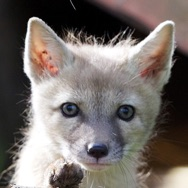 Tayto Park Animal - Corsac Fox