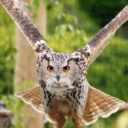 Tayto Park Animal - Eurasian Eagle Owl