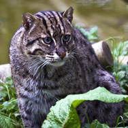 Tayto Park Animal - Fishing Cat