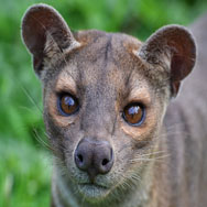 Tayto Park Animal - Fossa