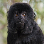 Tayto Park Animal - Goeldi's Monkey
