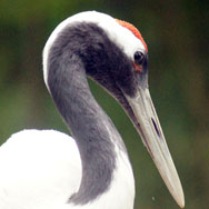 Tayto Park Animal - Red-Crowned Crane