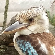 Blue-winged Kookaburra at Tayto Park