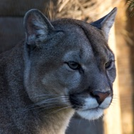 Tayto Park Animal - Mountain Lion