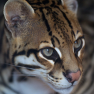 Tayto Park Animal - Ocelot