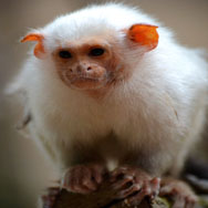 Tayto Park Animal - Silvery Marmoset
