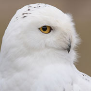Tayto Park Animal - Snowy owl