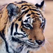 Tayto Park Animal - Amur Tiger