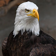 Tayto Park Animal - Bald Eagle