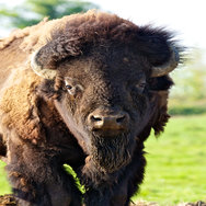 Tayto Park Animal - American Bison