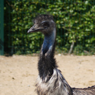 Tayto Park Animal - Emu