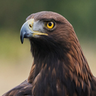 Golden Eagle at Tayto Park
