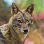 Tayto Park Animal - Golden Jackal