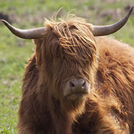 Tayto Park Zoo - Highland cattle