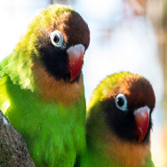 Tayto Park Animal - Black-cheeked Lovebirds