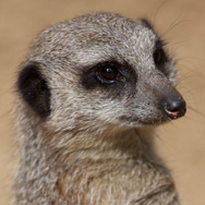 Tayto Park Animal - Meerkat