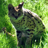 Tayto Park Animal - Serval Cat
