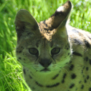 Tayto Park Animal - Serval