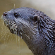 Tayto Park Zoo - Asian small-clawed otter