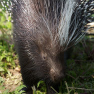 Tayto Park Animal - Cape Porcupine