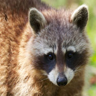 Tayto Park Animal - Raccoon