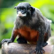 Tayto Park Animal - Red-bellied Tamarin