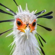 Tayto Park Animal - Secretary Bird