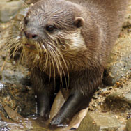 Tayto Park Animal - Asian small-clawed otter