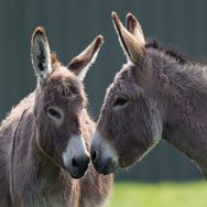 Tayto Park Animal - Sicilian donkeys