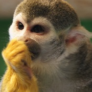 Tayto Park Zoo - Squirrel Monkey