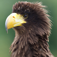 Tayto Park Animal - Steller's sea eagle