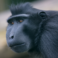 Sulawesi crested Macaque at Tayto Park