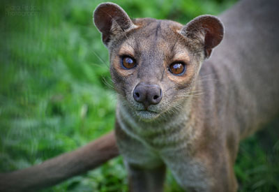 Exhilarating Enrichment for our Fossa